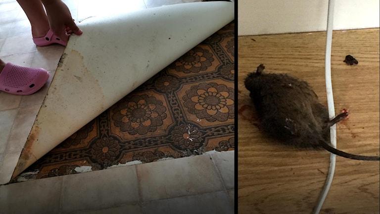 En tvådelad bild, till vänster ser man en persons hand hålla i en trasig golvmatta och till höger syns en död råtta bredvid en elsladd.