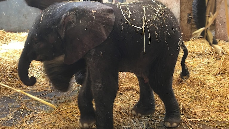 Elefantunge.