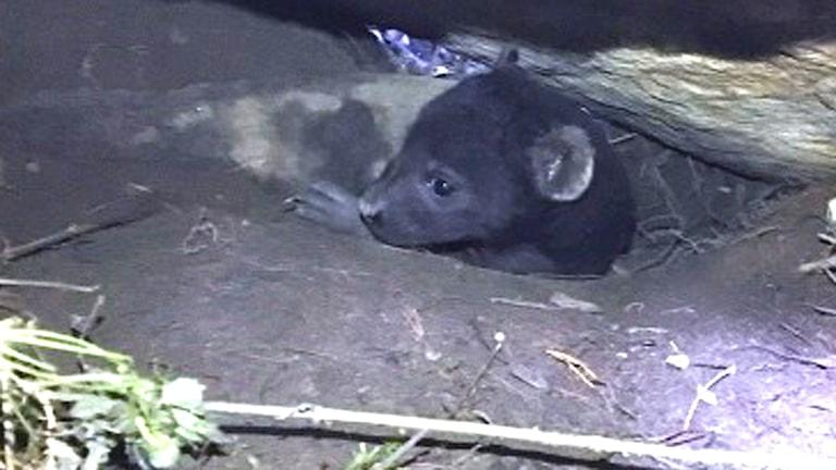 En liten hyenaunge tittar upp ur en håla i marken.