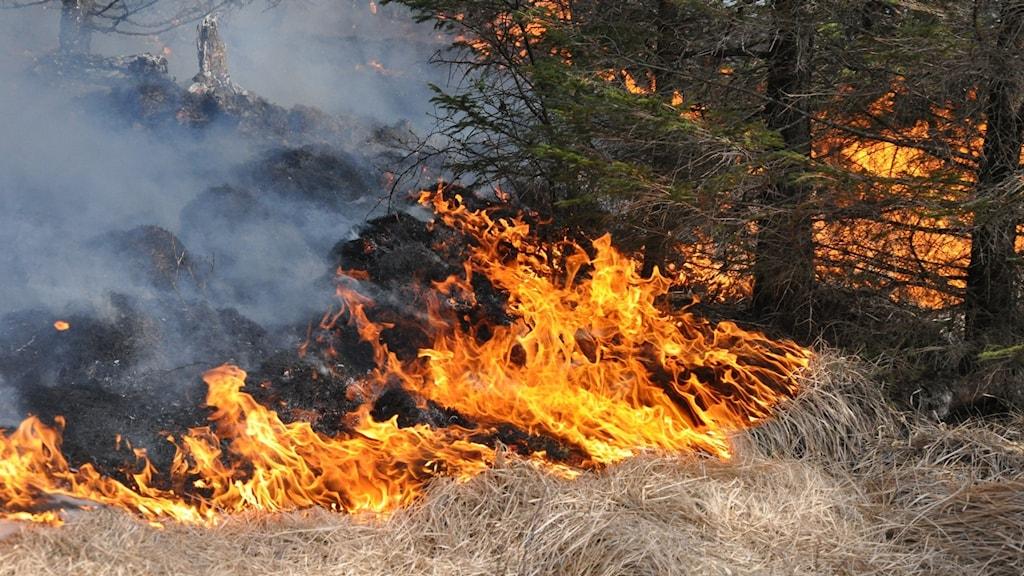 Gräs som brinner