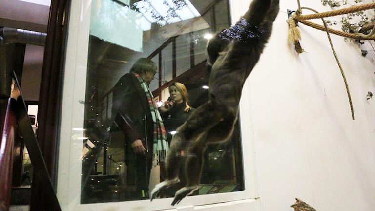 Gibbonapan Rak-Ling svingar sig medan djurskötaren Sara Hedlund intervjuas av reporter Mikael Olmås.