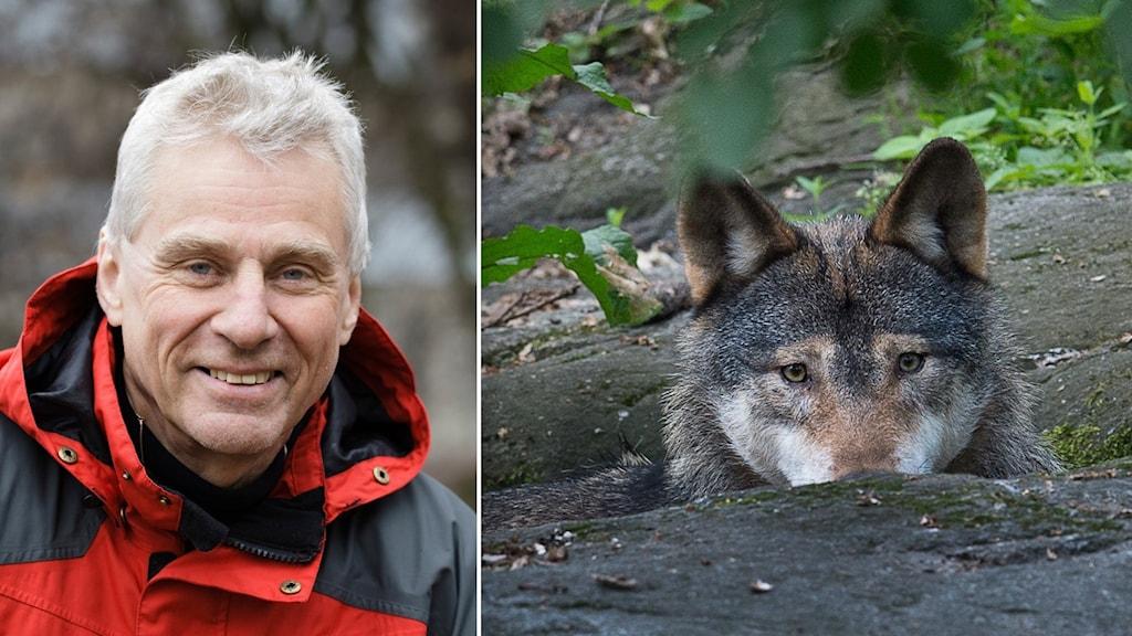 En man med grått hår och röd jacka. Till höger en varg som tittar upp från en sten.