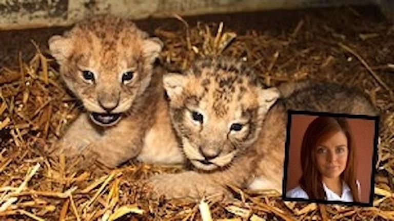 Två lejonungar på bild. Infälld bild ¨på Sandra Jönsson, WWF:
