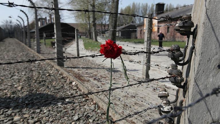 En nejlika hänger i taggtrådsstaketet på Auschwitz efter en minnesmarsch.