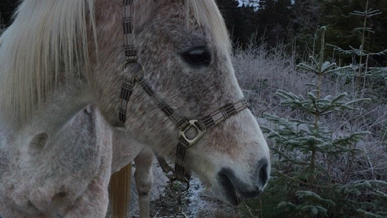 Hästen Barta mår bra efter attacken.