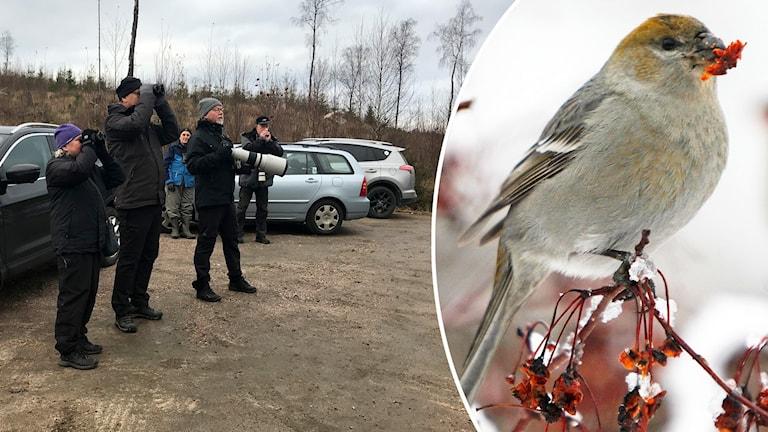 Fågelskådare i Dalsjöfors letar efter Tallbit