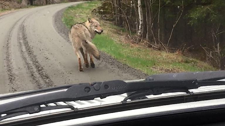 En varg på en grusväg framför en bil