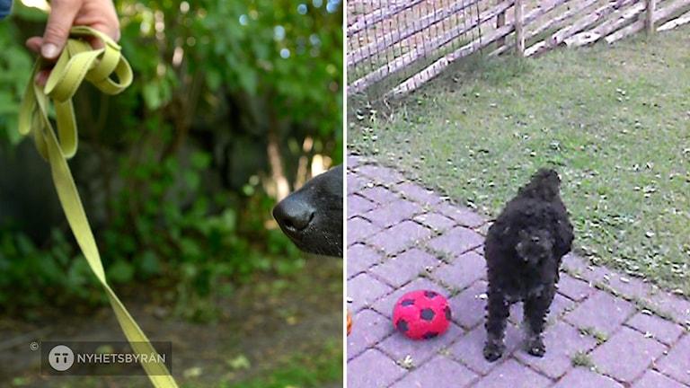 STOCKHOLM 20150820 Träna bort hundens olater. Med en sele där fästet sitter över bröstet är det svårare för hunden att dra. Foto: Janerik Henriksson / TT / Kod 10010
