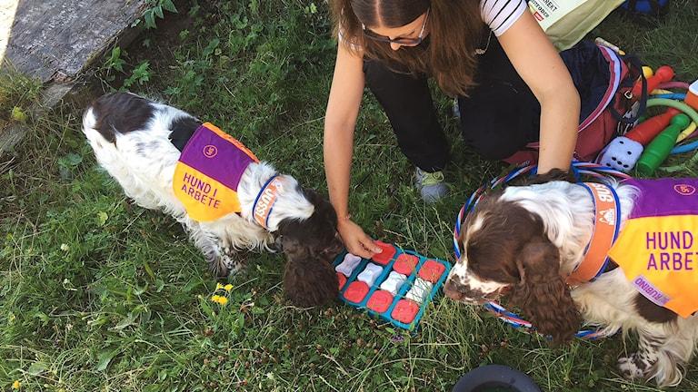 Två hundar som bär täcken. Letar godis vid ett aktivitetsspel. Matte sitter bredvid.