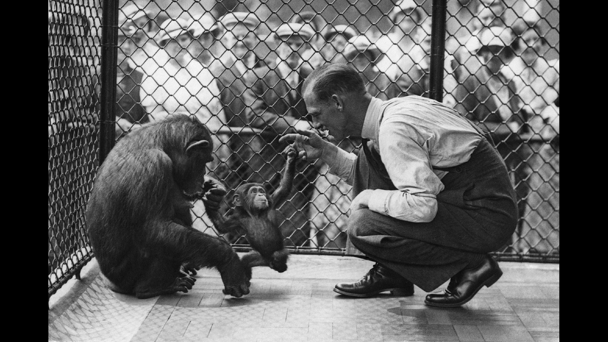 Babyschimpans lär sig gå. Foto: SVT.
