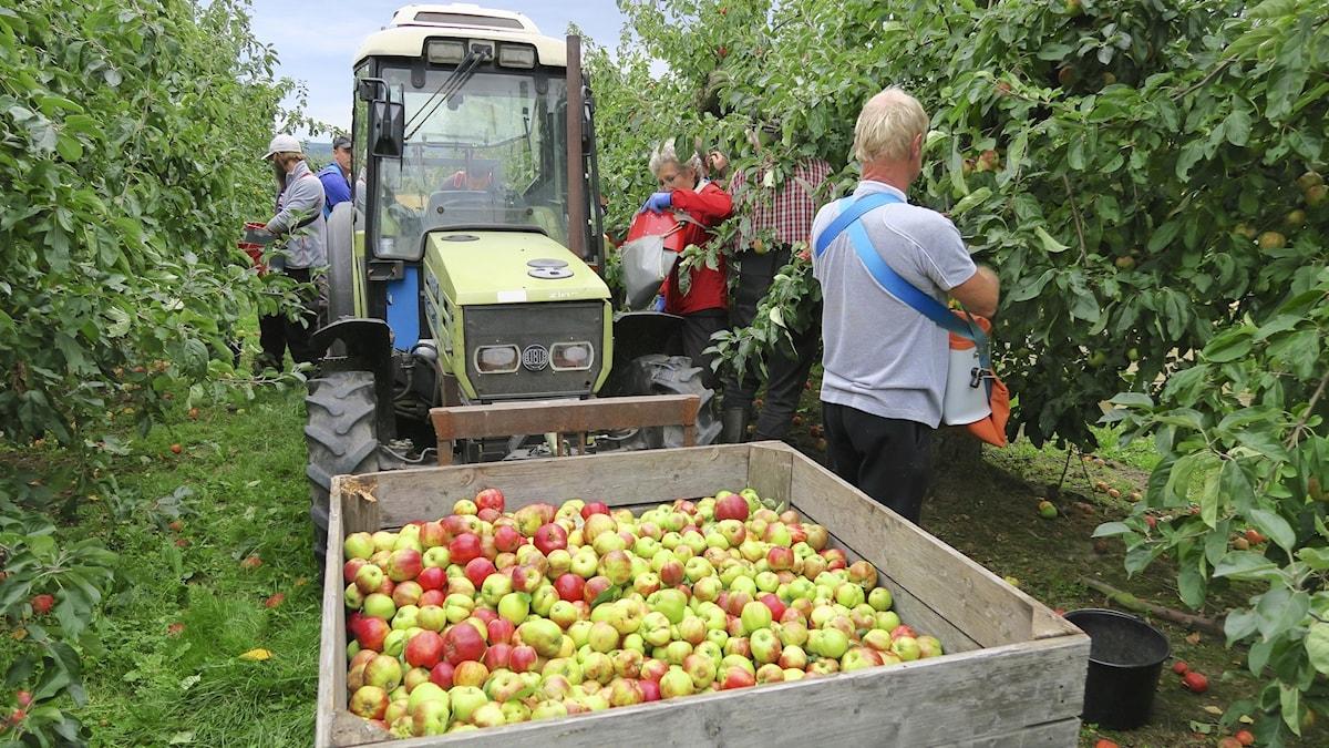 Äppelskörd i Kivik. Foto: Tomas Tengby.