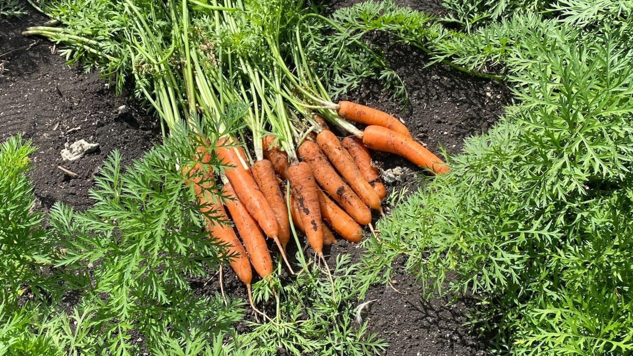 Nyplockade morötter. Sorten heter Romance.
