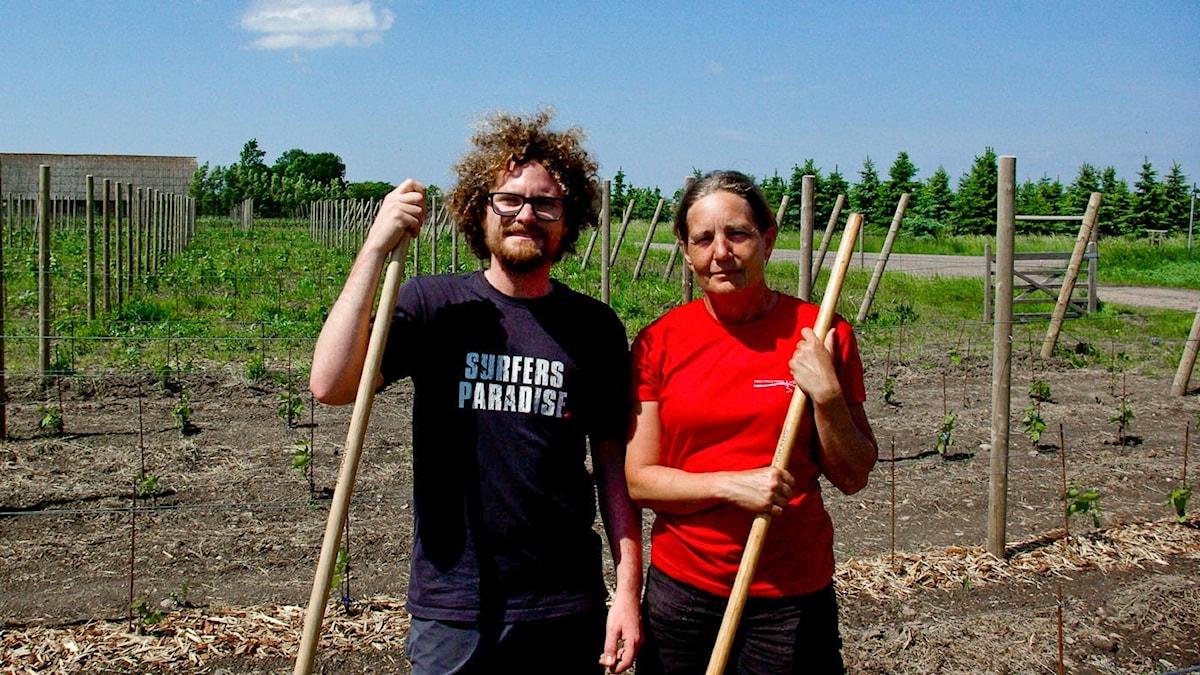 Victor Dahl och Åsa Lind rensar ogräs i vinodlingen.