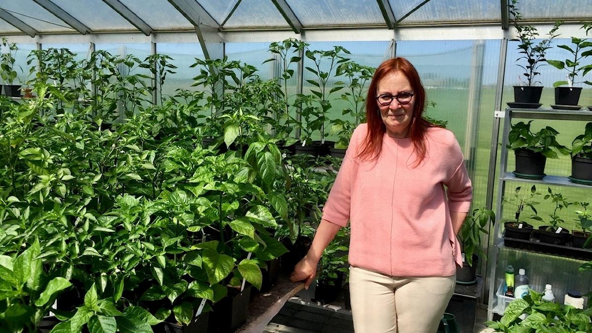 Kerstin Rosengren odlar över 300 sorter chili i sina två små växthus.