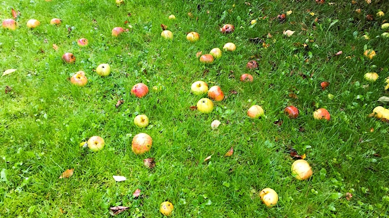 Så här ser det ut i många villaträdgårdar. Fallfrukt som ruttnar.