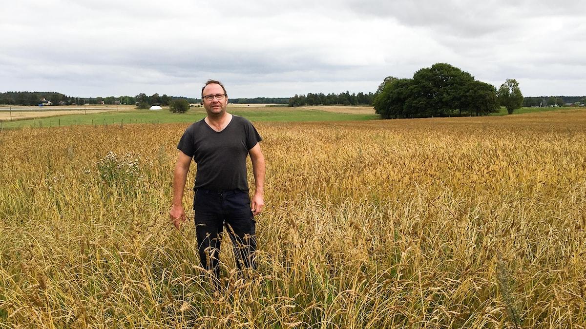 Niclas Dagman i odlingen av Ölands lantvete.