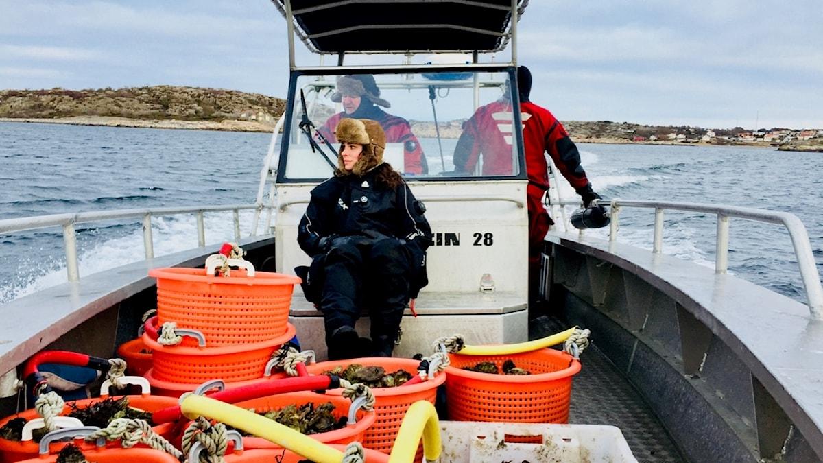 Lotta, Peter och Bengt Klemming dyker efter ostron i Grebbestad.