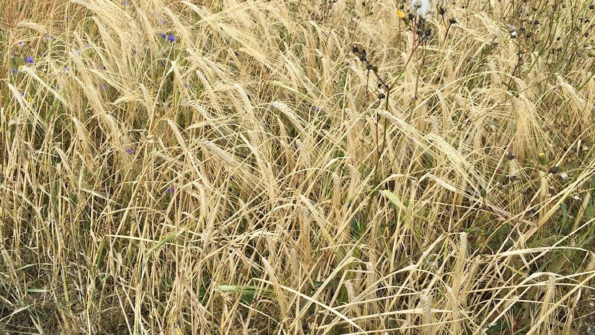 Korn har oftast väldigt långa borst. Och när det mognar böjer sig axet.
