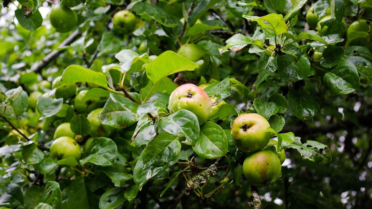 Kalvnos- eller fårnosäpple, som de kallas eftersom de har en utskjutande del. Kanske ett gammalt cideräpple.