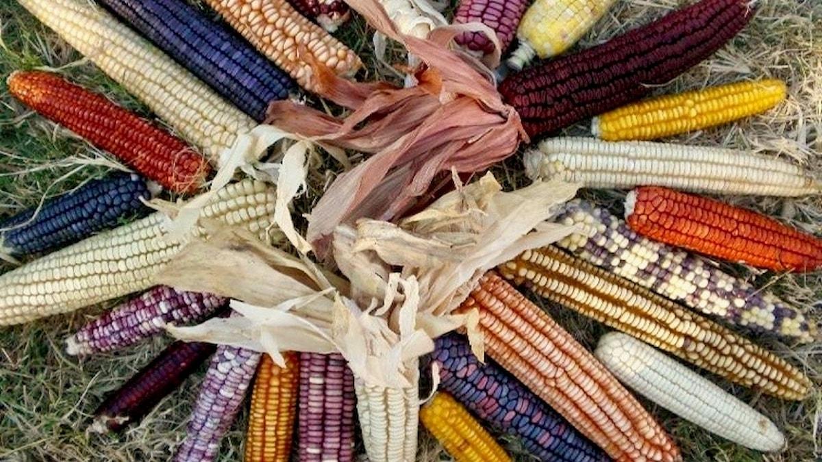 I Mexico finns det mängder med olika majs. Den gula majsen äter djuren.