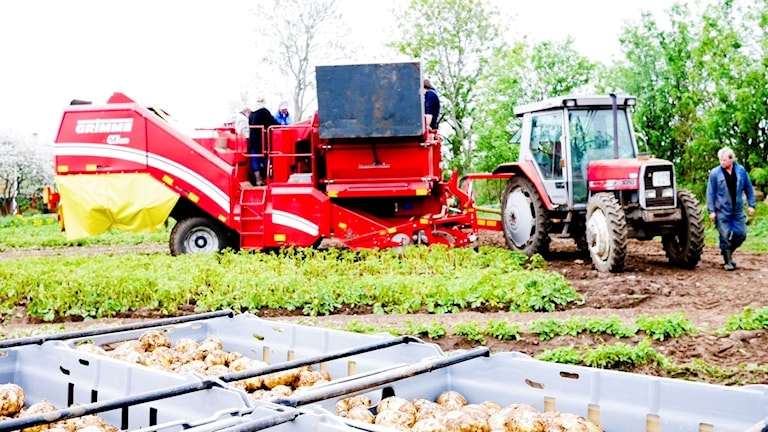 Dags att byta rad och låta maskinen plocka upp mer potatis - och sten!