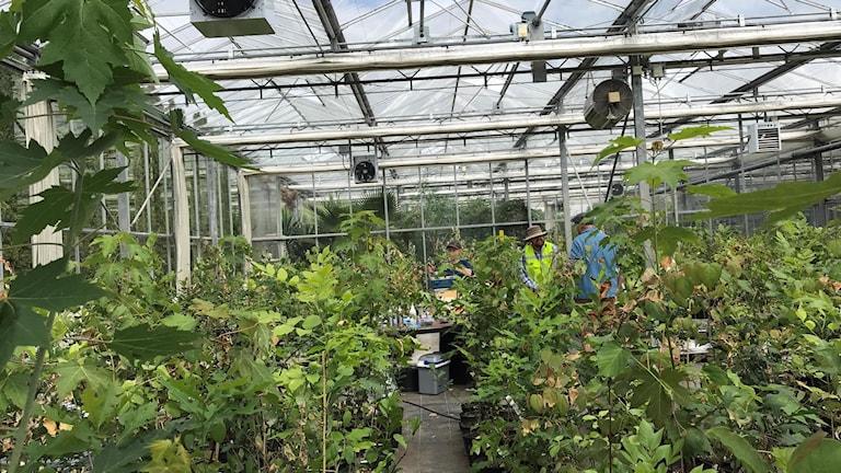 Frodig grönska av många slags små träd i ett växthus.