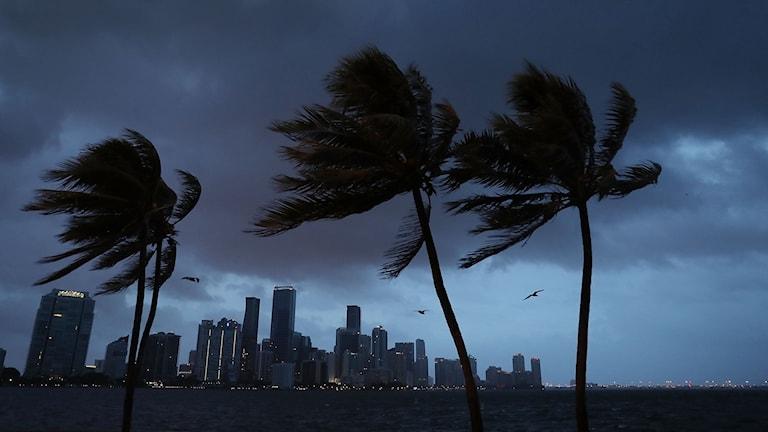 Florida förbereder sig för orkanen Irmas ankomst. Foto: Joe Raedle/TT