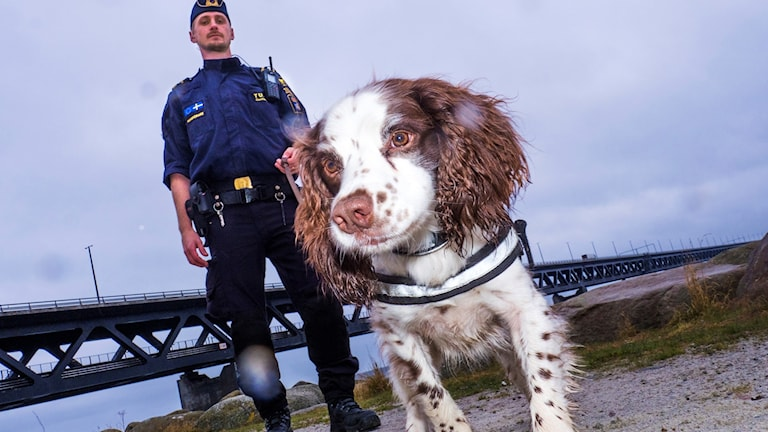 Zak, Årets narkotikasökhund 2017, med sin förare Niklas Delin i Malmö. Foto: Anders Roos/SKK.