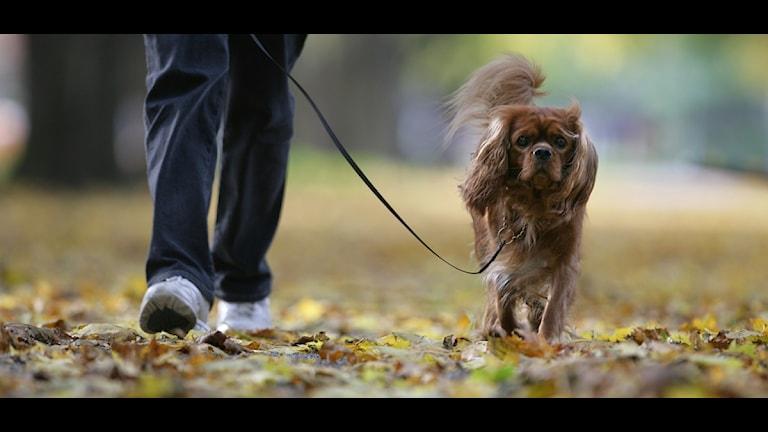 Hund i koppel. Foto: Fredrik Sandberg/Scanpix