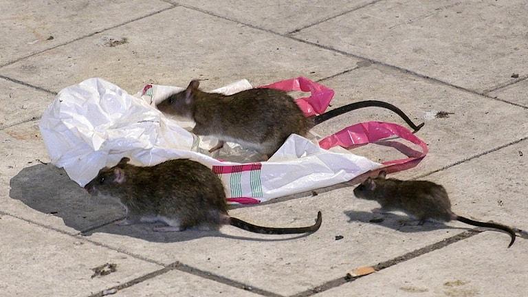 Tre råttor på trottoar.