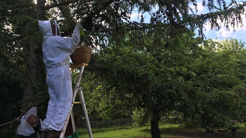 Håkan plockar bin