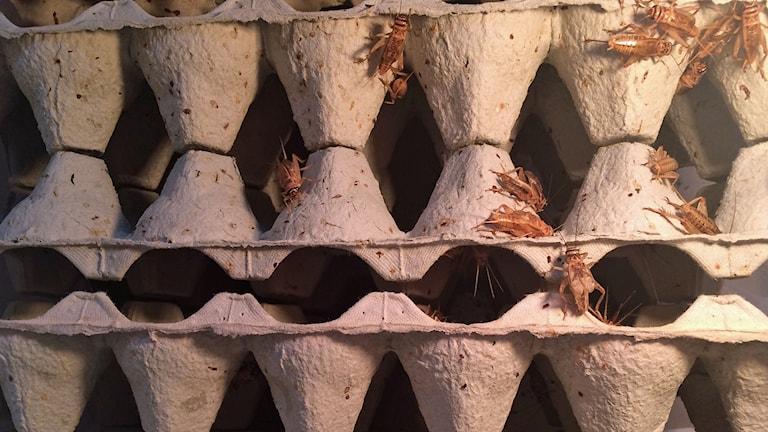 Kuvassa on munakennon näköisiä kennoja kolmessa kerroksessa ja kennojen ymprillä hyörii vaalenruskeita hyönteisiä. Foto: Anna Gjöres/Sveriges Radio.