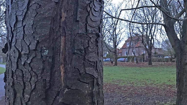 Träd drabbas av Kastanjeblödarsjuka i Helsingborg.