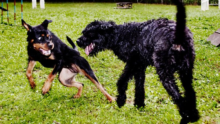 Lekande hundar. Foto: Linda Forsell/Scanpix