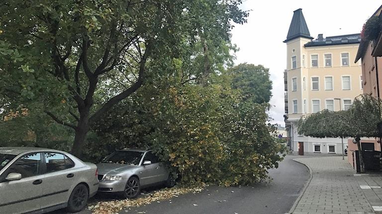 Två bilar vid Vikingsbergsparken i Helsingborg som fått ett träd över sig vid stormbyarna. Foto: Nina Sköldqvist/Sveriges Radio.