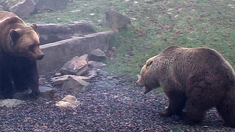 Björnar på Skånes Djurpark.