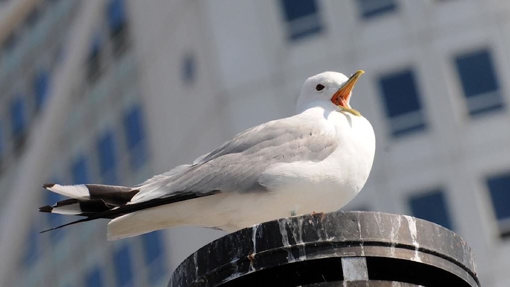 En skrikande mås på en skorsten i Malmö med Turning Torso i bakgrunden. Skrikande och skränande fiskmåsar har fått Malmöbor att klaga hos kommunens miljöförvaltning. Foto: Johan Nilsson / Scanpix