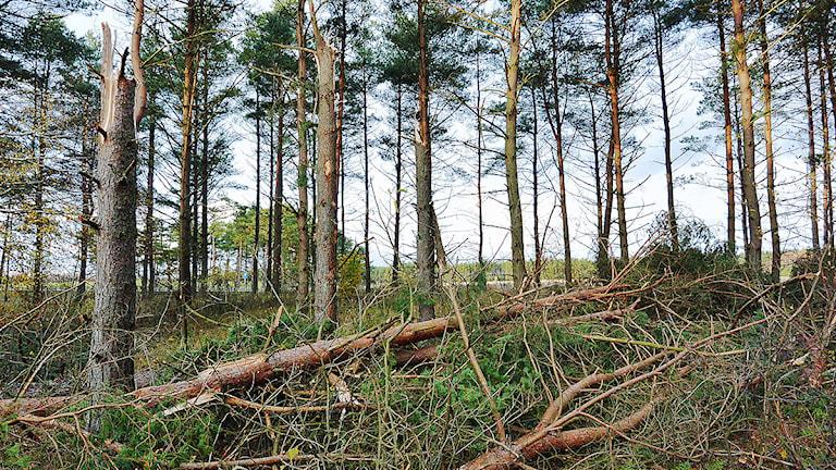 Stormfälld skog utanför Sjöbo i Skåne på onsdagen. Skog för i storleksordningen 800 miljoner kronor vräktes omkull under stormen Simones härjningar i Sydsverige. Foto: Johan Nilsson/TT