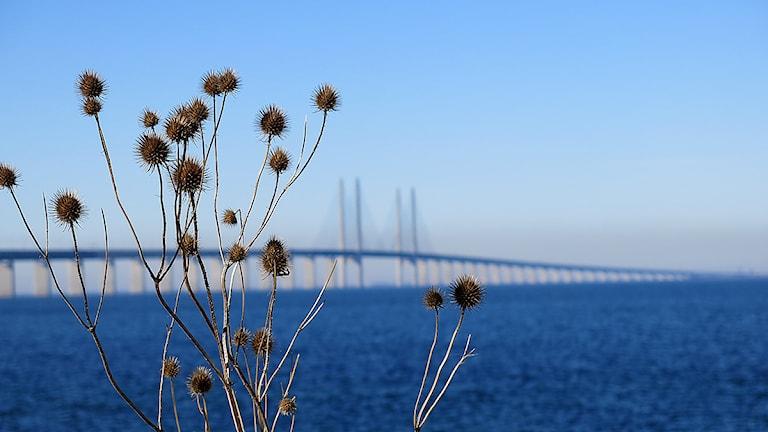 Öresundsbron som fond, vissen tisstel i förgrund. Foto: Karin Olsson-Bendix/Sveriges Radio