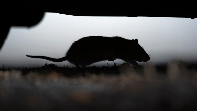 Råtta under en bil.