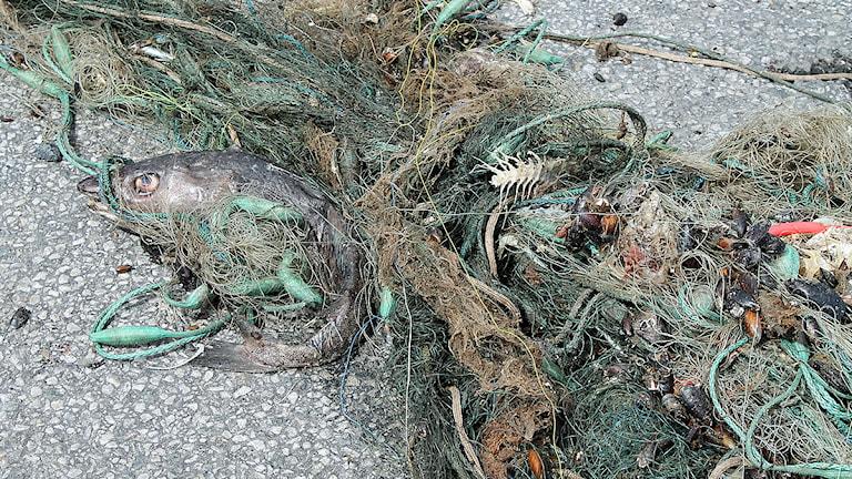 Tappade och ibland dumpade fiskenät, så kallade spökgarn, ställer till med stor skada i havet. Foto: Malin Thelin/Sveriges Radio