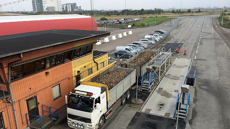 Lastbilar fyllda med betor rullar in på Örtofta sockerbruk. Foto: Anton Kalm/Sveriges Radio