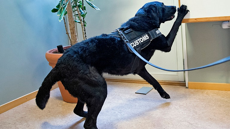 Vapenhunden Doris markerar ett fynd av vapendelar. Foto: Ludvig Thunman/TT