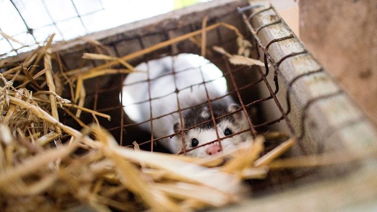 Mink i bur