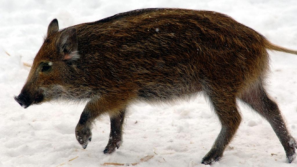 Vildsvin i snö. Foto: Hasse Holmberg