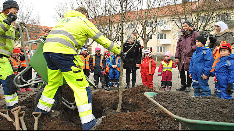 Äppelträdet planteras. Foto: Jimmie Larsson/Sveriges Radio