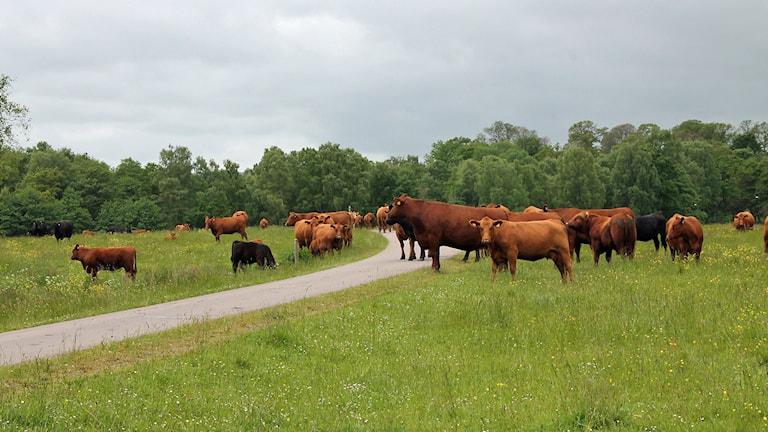 Kor i betesmarkerna vid Herrevadskloster Foto: Malin Thelin/Sveriges Radio