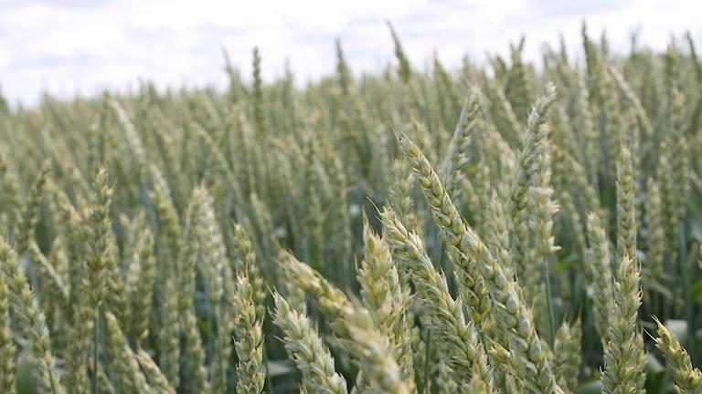 Höstvete vete vetefält odling