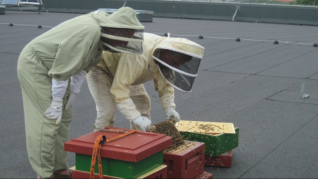 Ole Andersson och James Brockie kontrollerar bikuporna på arenataket i Helsingborg. Foto: Bosse Johansson/Sveriges Radio.