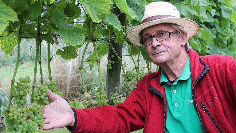 – Klasarna är fina,  men de borde vara mer gula, säger vinodlaren Thorsten Persson. Foto: Malin Thelin/Sveriges Radio